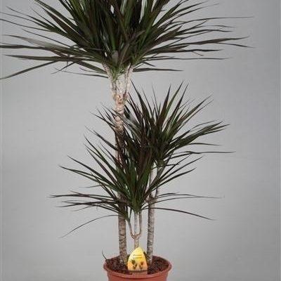 Planta Dracena Marginata