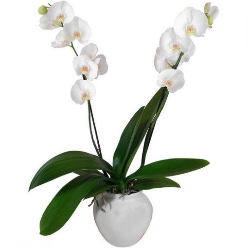 Orquídea natural con macetero