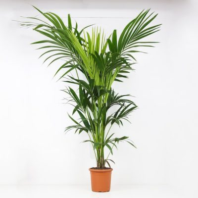 Kentia planta natural grande