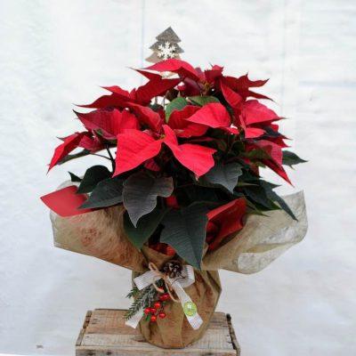 Poinsettia roja grande