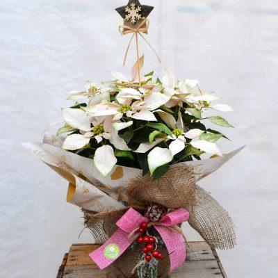Poinsettia blanca navidad