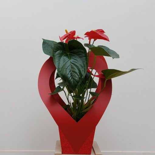 Planta anthurium enamorados