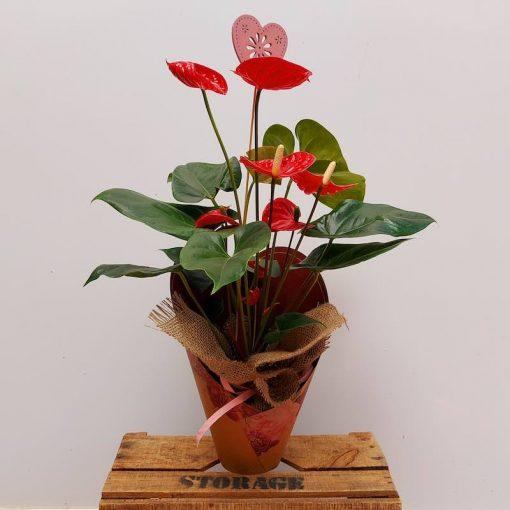 Planta natural anthurium