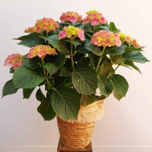 Planta hortensia natural